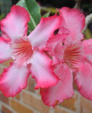 Adenium Desert Roses